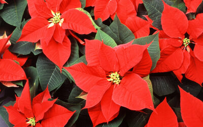 All•Boro Reviews The Dangers of Holiday Plants
